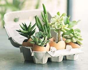Mieux que le tri sélectif, pensez à la récup ! Des coquilles d'œufs récupérées et leur boite de transport et voilà un support récup pour y planter des mini-succulentes. Retrouvez les instructions pour réaliser cette déco unique.
