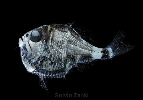 Los peces abisales habitan en las aguas más profundas de los mares y océanos y forman parte de la fauna abisal (abisopelágica), aproximándose raramente a la superficie. Este ecosistema, a más de 2.000 metros de profundidad, soporta unas bajísimas temperaturas y una completa oscuridad. La mayoría de los peces abisales tienen una monstruosa apariencia, con enormes bocas y dientes, cuerpos blandos y con estómagos telescópicos que pueden adaptarse a presas de mayor tamaño que ellos. Se han…