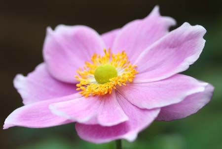 The horticulturalists working at Powerscourt Garden Pavilion have some great advice for growing Japanese Anemones.