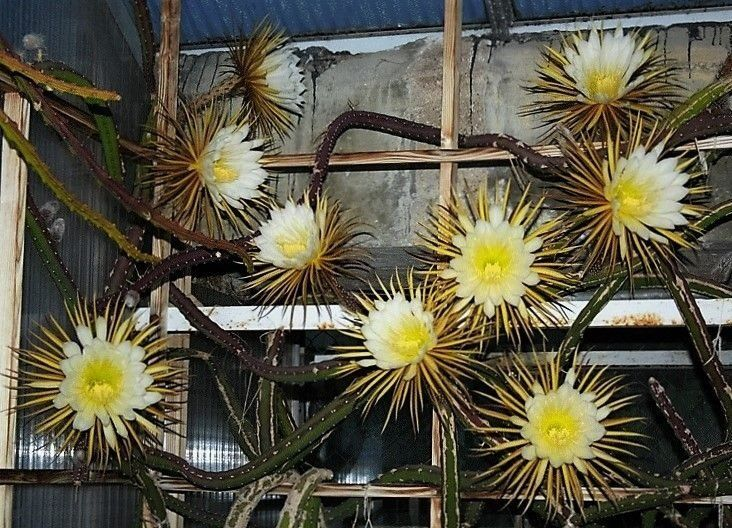 Pitaya de Grandes Flores - Ornamental e Frutas Comestíveis - Jardim Exótico - O maior portal de mudas do Brasil.