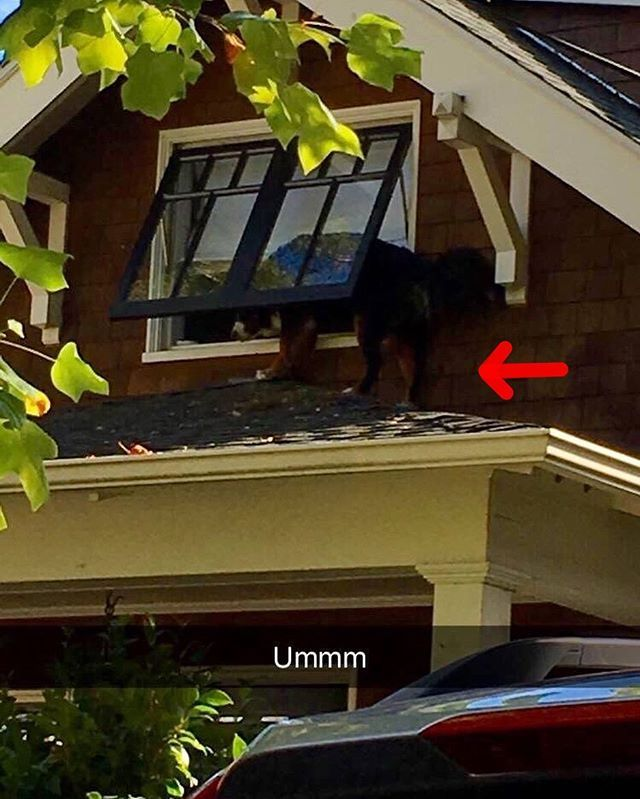 When your Mountain Dog takes their name too seriously 😳  Disclaimer: the Berner is back inside and safe!  Photo by Jennifer Lopez and shared with her permission.