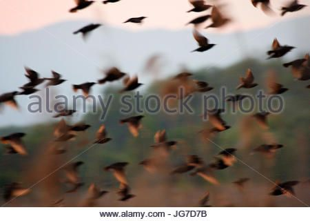 Flock of common starling in the evening - Stock Photo