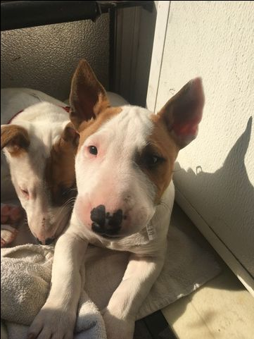 Litter of 3 Bull Terrier puppies for sale in FLORENCE, SC. ADN-25008 on PuppyFinder.com Gender: Male. Age: 7 Weeks Old