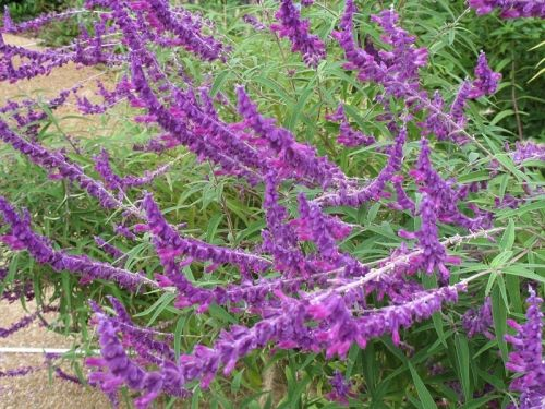 Shrubs For Shade Houston : Best images about houston plants on