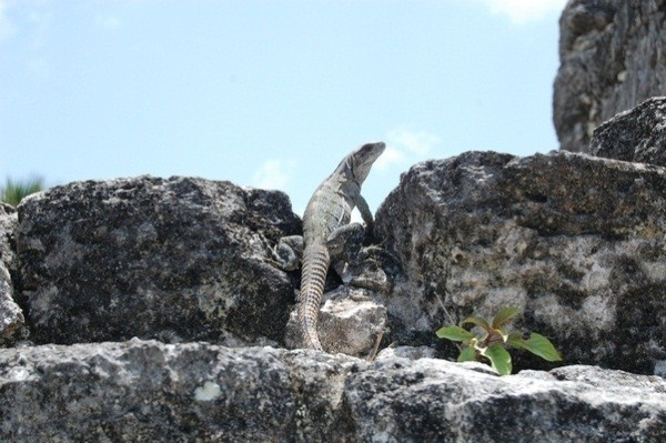 An iguana hanging out near a Virtual Cache at San Gervasio ruins in CozumelCozumel Mexico, Ruins Cozumel, Quinatana Roo, Mexico Quinatana, Iguana Hanging, Gervasio Mayan, San Gervasio, Gervasio Ruins, Mayan Ruins