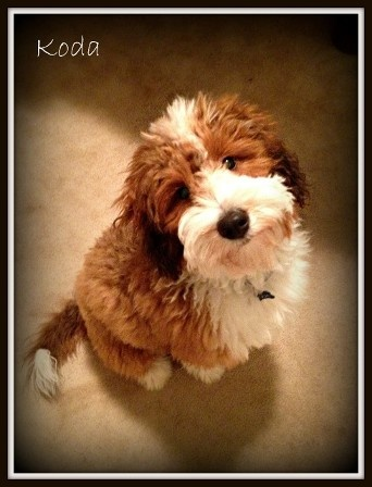 Look at that face! How could you say no to a Bernadoodle