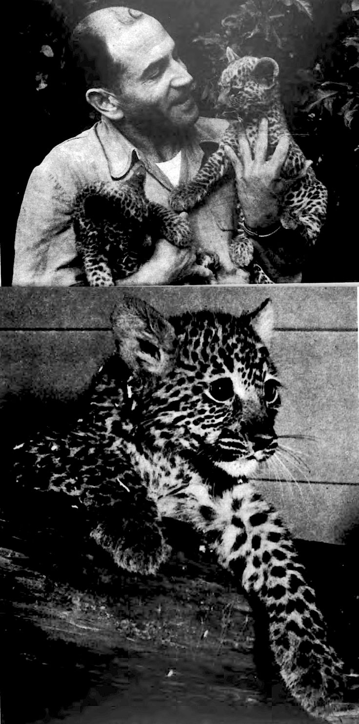 Former Buffalonian Ron Shanin found these 2 leopard cubs near his camp in Central Africa & kept them as pets. When 10 weeks old he sold them to the Seneca Park Zoo in Rochester NY. He captured many animals including snakes, lizards, eagles, cheetah & chimpanzee. Mutnk as she looked on day she arrived at her homeat Zoo. Cubs were kept in a glass cage with saw dust floor until age of five months, then transferred to one of concrete & steel.