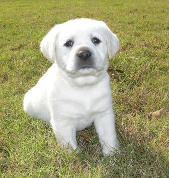 Labrador Retriever Puppies for Sale - Male 3