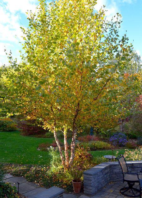 Plant Inventory: Betula nigra / River Birch