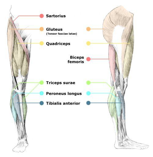 To get the legs nice and sexy, let's see what 5 main muscles we're working with! 1. Sartorius- the longest muscle in the body. 2. Gluteus-mainly gives that bootlylicious look lol.(I'm serious) 3. ...
