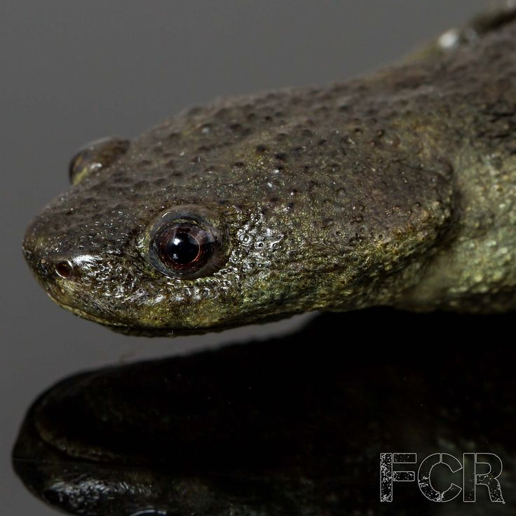 First Choice Reptiles - Spanish Ribbed Newts For Sale, $40.00 (http://www.firstchoicereptiles.com/spanish-ribbed-newts-for-sale/)