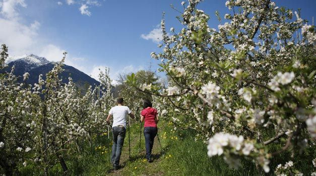Apple blossom at the Red Rooster farms in South Tyrol (Italy)