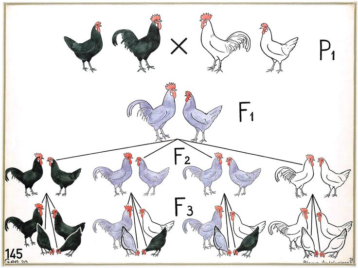 Poultry Genetics For Small and Backyard Flocks: An