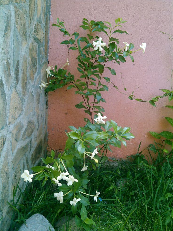 Galan floreando