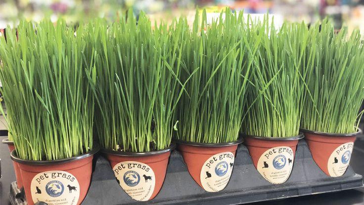 Pet Grass Wheatgrass Benefits For Dogs Cats Give A Dog A Bone Pet Grass