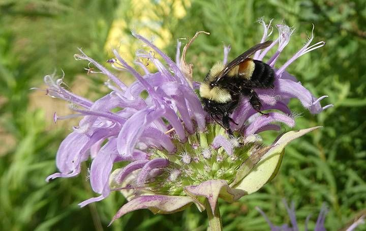 This 2016 file photo provided by The Xerces Society shows a rusty-patched bumblebee in Minnesota. (Photo by   Sarah Foltz Jordan/The Xerces Society via AP)