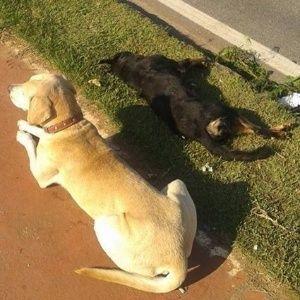 """""""O GRITO DO BICHO"""": Cão fica mais de 10h ao lado de cadela que morreu ..."""