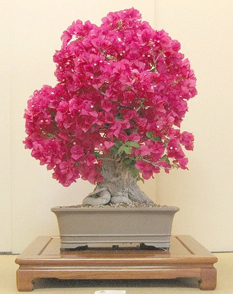 Bougainvillea Winter Care What To Do With A Bougainvillea: 25+ Best Ideas About Bougainvillea Bonsai On Pinterest