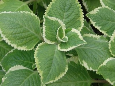 El orégano, cuyo nombre científico es Origanum vulgare, es una planta herbácea perenne del género Origanum, con amplias propiedades medicinales.