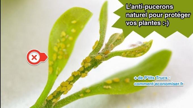 Vos plantes vertes sont infestées par les pucerons ? Inutile de se ruiner en produits chimiques pour les repousser ! Il existe un anti-pucerons naturel pour se débarrasser des pucerons sur vos pl...