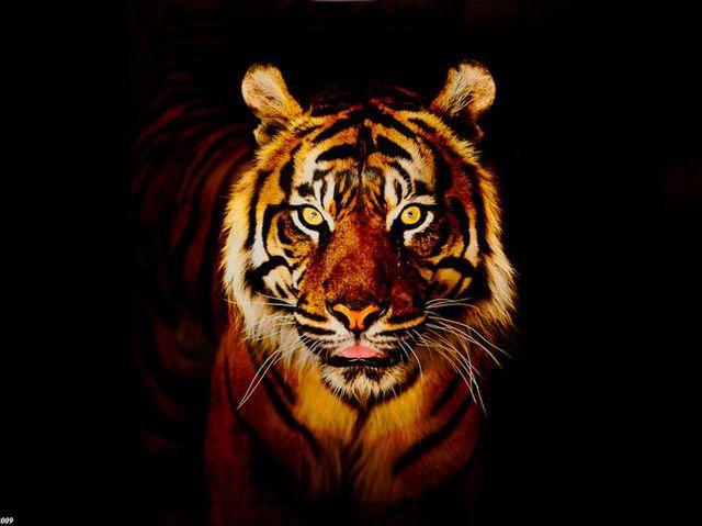 hvilket dødbringende dyr er jeg?jeg fik Tiger !!!!!!!!!!!!!