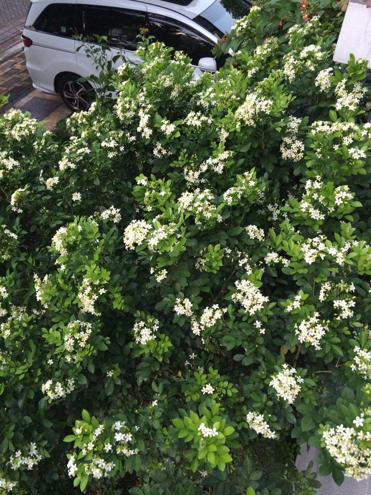 Kemuning (Murraya Paniculata )