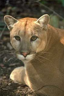 The elusive & endangered Florida Panther. http://www.eparks.org/wildlife_protection/wildlife_facts/florida_panther.asp