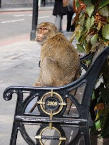 In Gibraltar Island streets...  Gibraltar Monkeys – Barbary Macaques.  Your holiday in Gibraltar, or your relocation to the area of Gibraltar will bring you in contact with a few neighbors you may not know about.