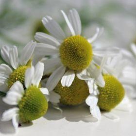 Echte Kamille Zloty Lan - Matricaria recutita -Polnische Sorte für die professionelle Blütenernte. Die Blütenköpfe sind groß, die Pflanzen wachsen aufrecht. Der Ölgehalt ist höher als bei der Art, was man schon an den Röhrenblüten in der Mitte sieht, denn diese sind nicht wie gewöhnlich gelb, sondern grünlich, was auf das stark entzündungshemmende Öl Chamazulen zurückzuführen ist.