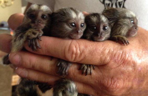 baby marmoset monkeys for sale