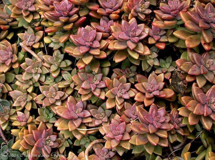 1000+ images about succulents on Pinterest | Gardens, Crassula ...