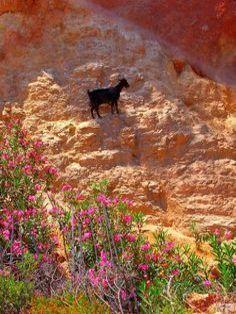 Black Goat In Crete