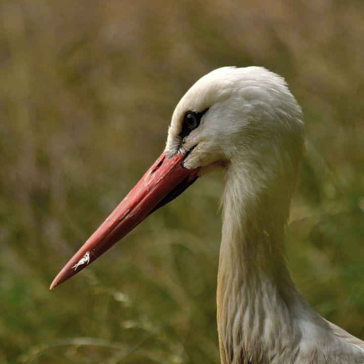 gólya - profilkép