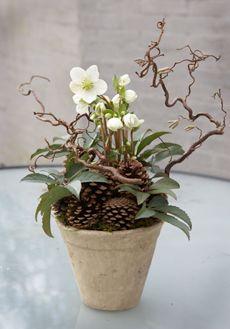 Årstidens plantedesigns -Helleborus niger - Julerose