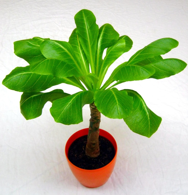 #Brighamia_insignis #hawajska_palma #plant   2012