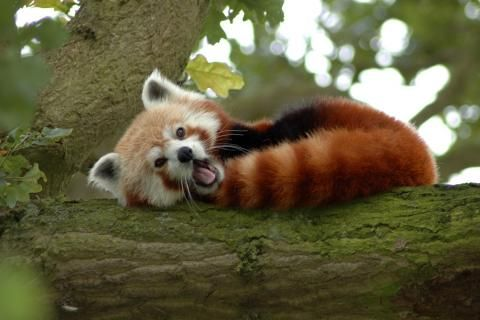 röda pandor träd