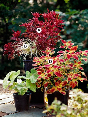 shade garden            A. Coleus (Solenostemon 'Daffy')  B. Sedge (Carex hachijoensis)  C. Caladium 'Florida Beauty'  D. Coleus (Solenostemon 'JoDonna')