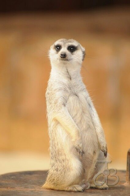 """""""Meerkat"""" mongoose on the lookout at Zebula,  South Africa."""