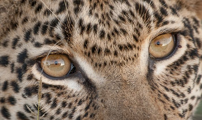 The piercing eyes of the Mashaba Young Female. You can even see the reflection of the game vehicle in her eyes! Photograph by Trevor Ryan McCall-Peat