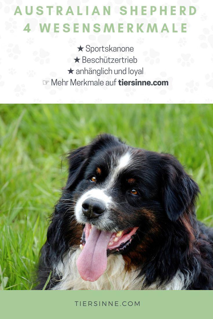 Australian Shepherd Charakter 4 Wesensmerkmale Australian Shepherd Charakter Australian Shepherds Aussie Hund