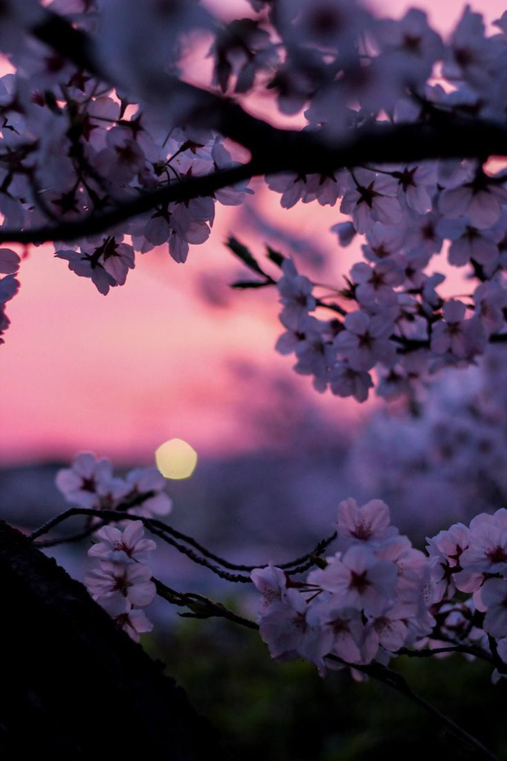 Cherry blossoms during the golden h flowers in 2020