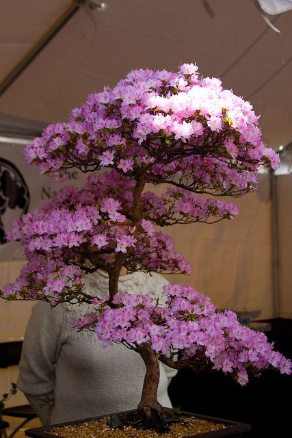 Cherry Bonsai japonés Árbol