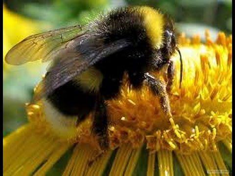 Шмель на цветущей вербе ранней весной. Bees on a blossoming willow in th...