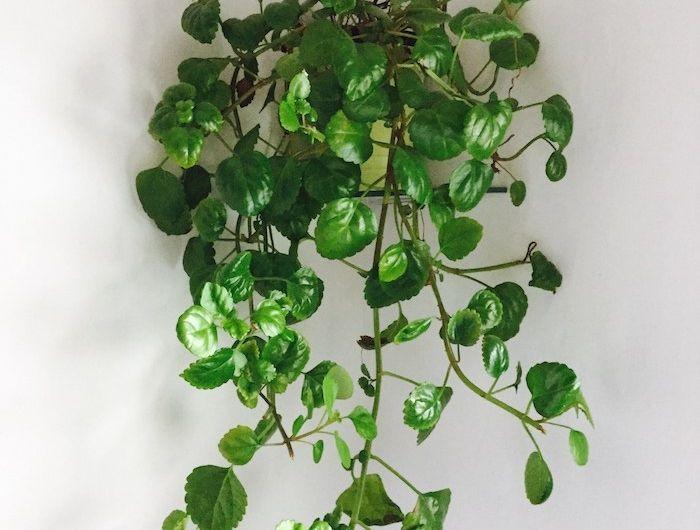 die besten 25 zimmerpflanzen schattig ideen auf pinterest hoya pflanzen wachsblumen und. Black Bedroom Furniture Sets. Home Design Ideas