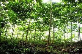 SERBA SERBI: Menanam pohon jabon di tepi jalan atau pematang sa...