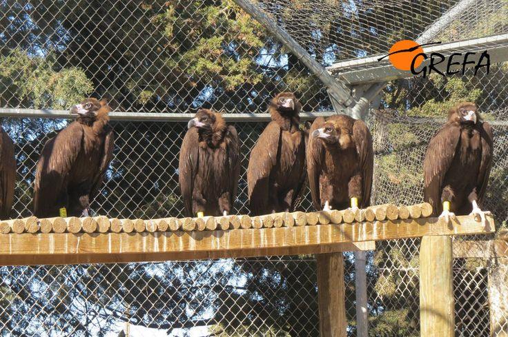 Buitres negros de la Sierra de la Demanda. Necesitamos un equipo de videovigilancia  http://www.funddy.com/1427470964250048/buitres-negros-de-la-sierra-de-la-demanda-necesitamos-un-equipo-de-videovigilancia