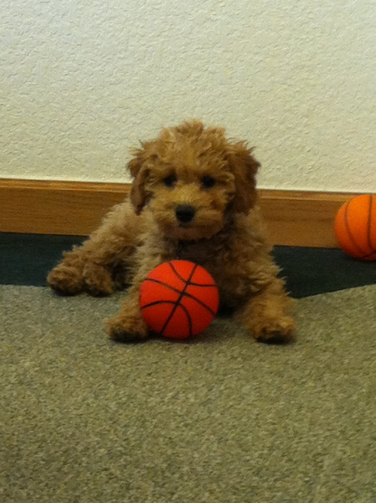 17 best images about mini labradoodle on pinterest