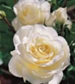 pictures of white roses