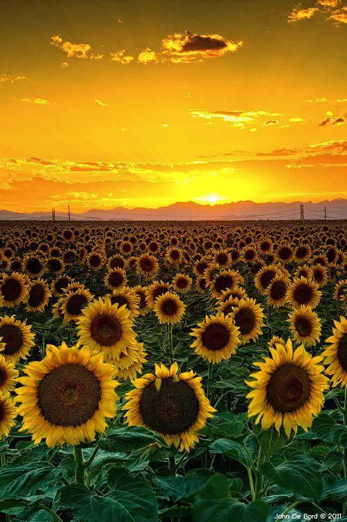 ~~Golden August ~ golden setting sun,  sunflower field, eastern plains, Colorado by `kkart~~