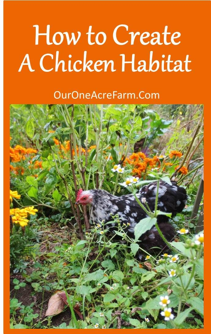 Creating a Chicken Habitat -- based on habits and habitat of jungle fowl, the wild relative of the chicken. Includes advice for making the most of a small space.